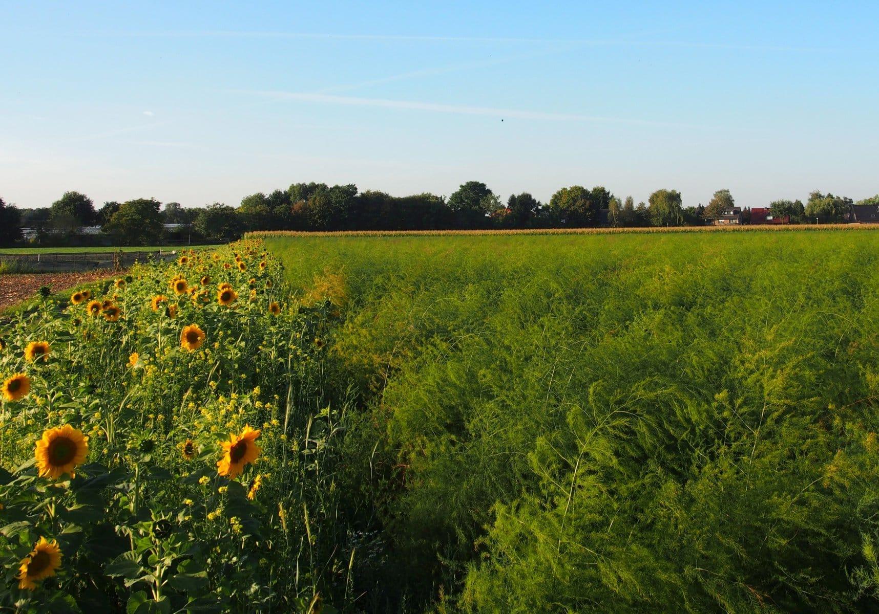 Blühstreifen für die Artenvielfalt – deutsche Spargelproduzenten lassen Feldränder erblühen
